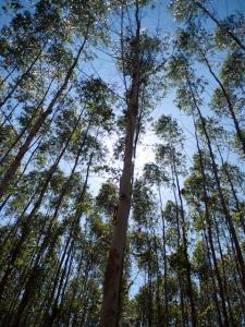 Ucalyptus Trees